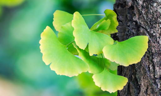Ginkgo Biloba  Contains valuable active substances: Flavonoids, organic acids and polysaccharides