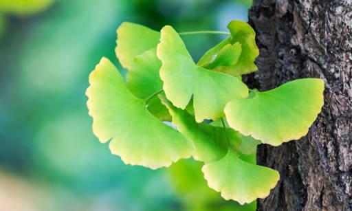 Ginkgo Biloba Contains valuable active substances: Flavonoids, organic acids and polysaccharides