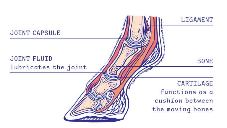 Drawing fetlock joint horse