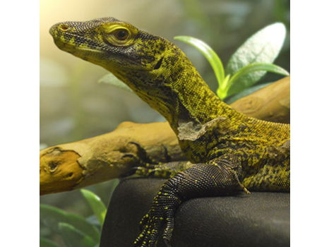 Adopt the NEW Komodo Dragon!