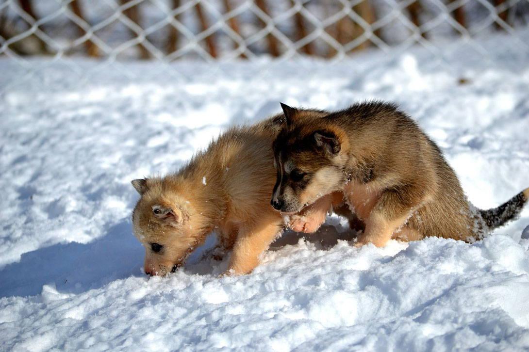 Zwei Welpen spielen im Schnee