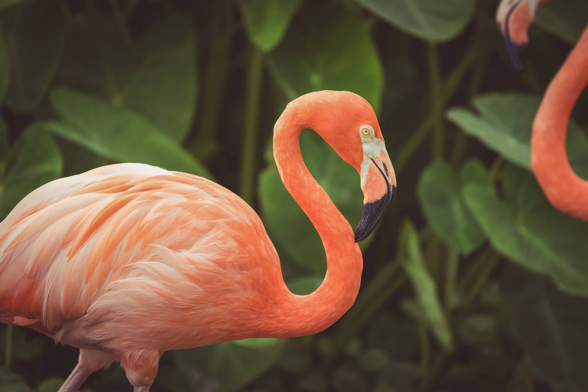 Astaxanthin, considered the most powerful antioxidant, is the reason for the pink colouring of flamingoes