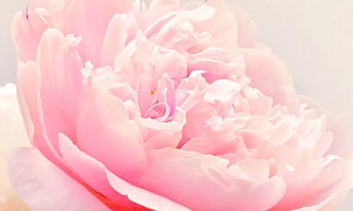 Damask Rose Oil