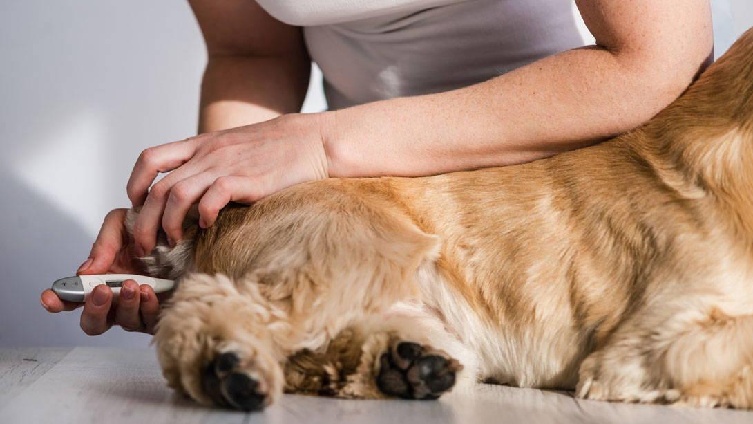 Fieber messen bei Hunden - Thermometer in den After einführen