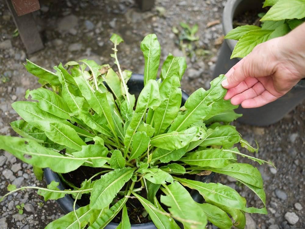 Japanese Indigo Plant
