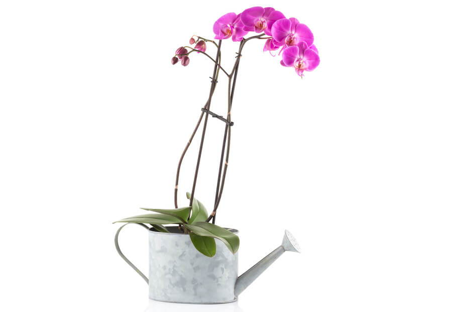 How Much Should I Water My Orchid Repotme