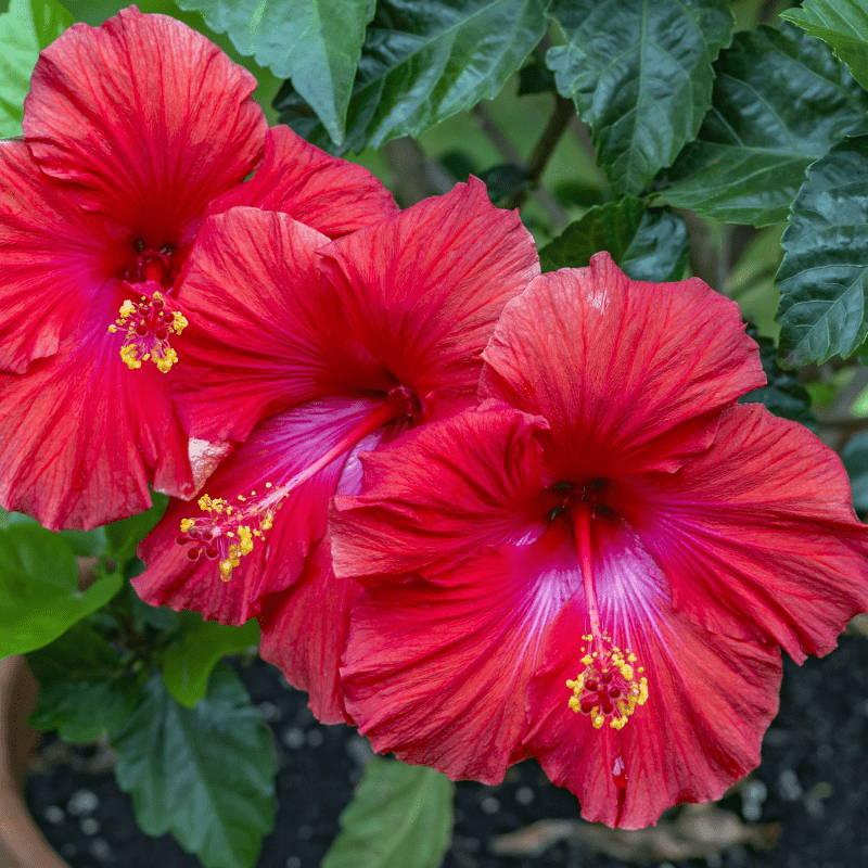 Fleurs Hibiscus