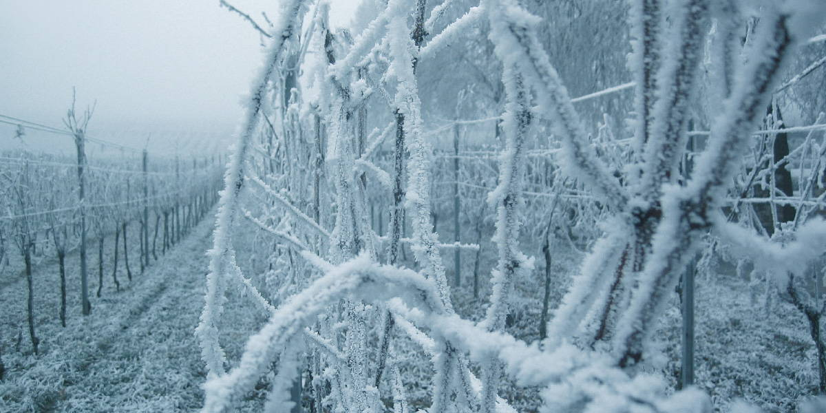 Frozen vines inside vineyard experienced in Europe during Spring in the 1990s.