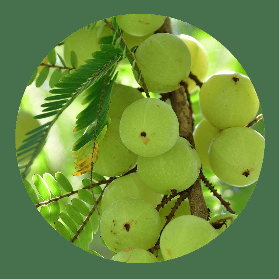 amla leaf uses | dendera naturally