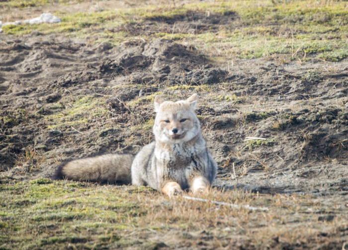 raposa deitada na grama