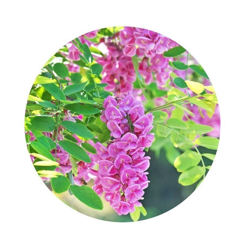 ROBINIE Robinie rosa Heilpflanzen Heilkräuter Lexikon Heilwirkung Wirkung