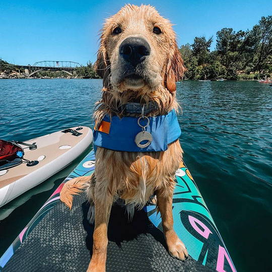 golden retriever sitting on standup paddle board