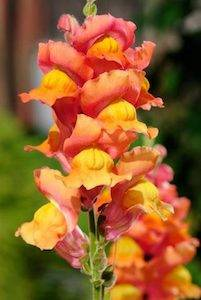 How to Care for Snapdragons