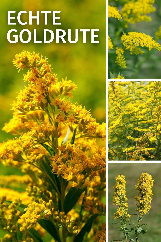 Goldrute Eigenschaften: harntreibend, blutreinigend, blutzuckersenkend, entzündungshemmend, krampflösend, schmerzstillend