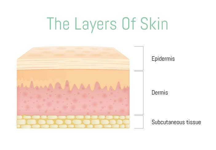 Diagram of the skin layers