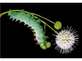 """Gravity""-  Caterpillar Photograph by Samuel Jaffe/The Caterpillar Lab"