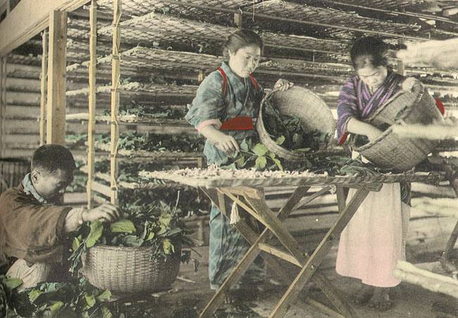 Japanese workers feeding mulberry leaves to silkworms