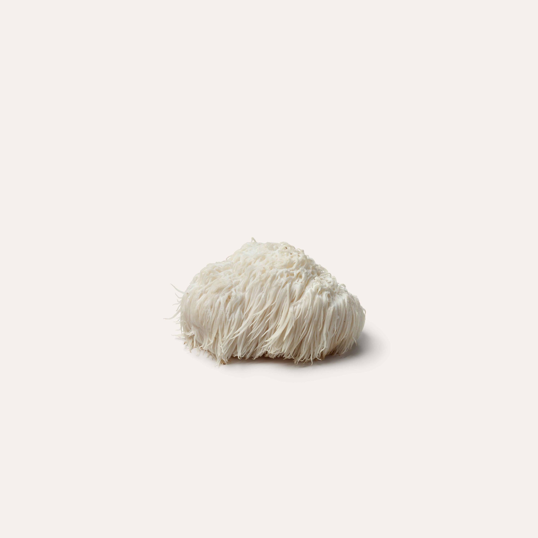 lion's mane mushroom on solid background