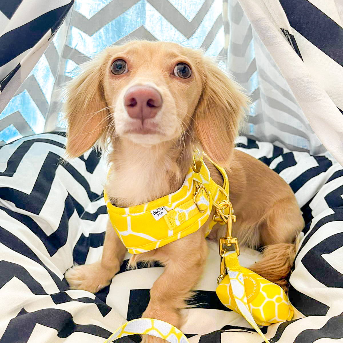 teacup chihuahua wearing a harness