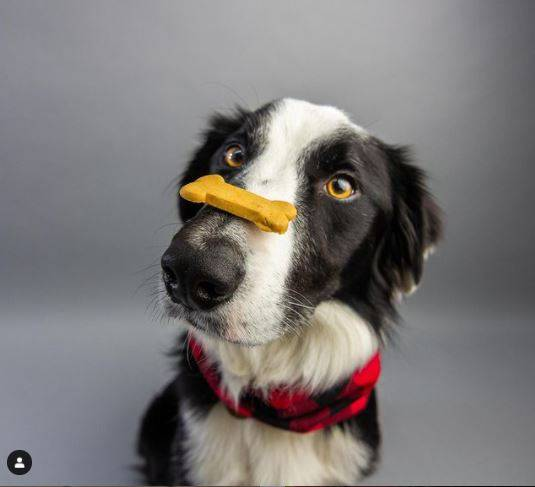 A picture from our Instagram with a patient dog balancing our human-grade, grain & gluten free Bacon Biscuit on its nose.