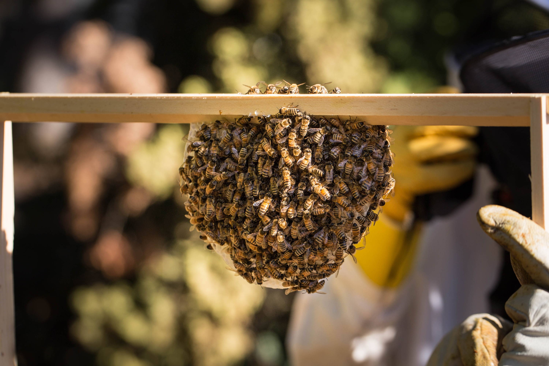 honeybees on a Langstroth frame