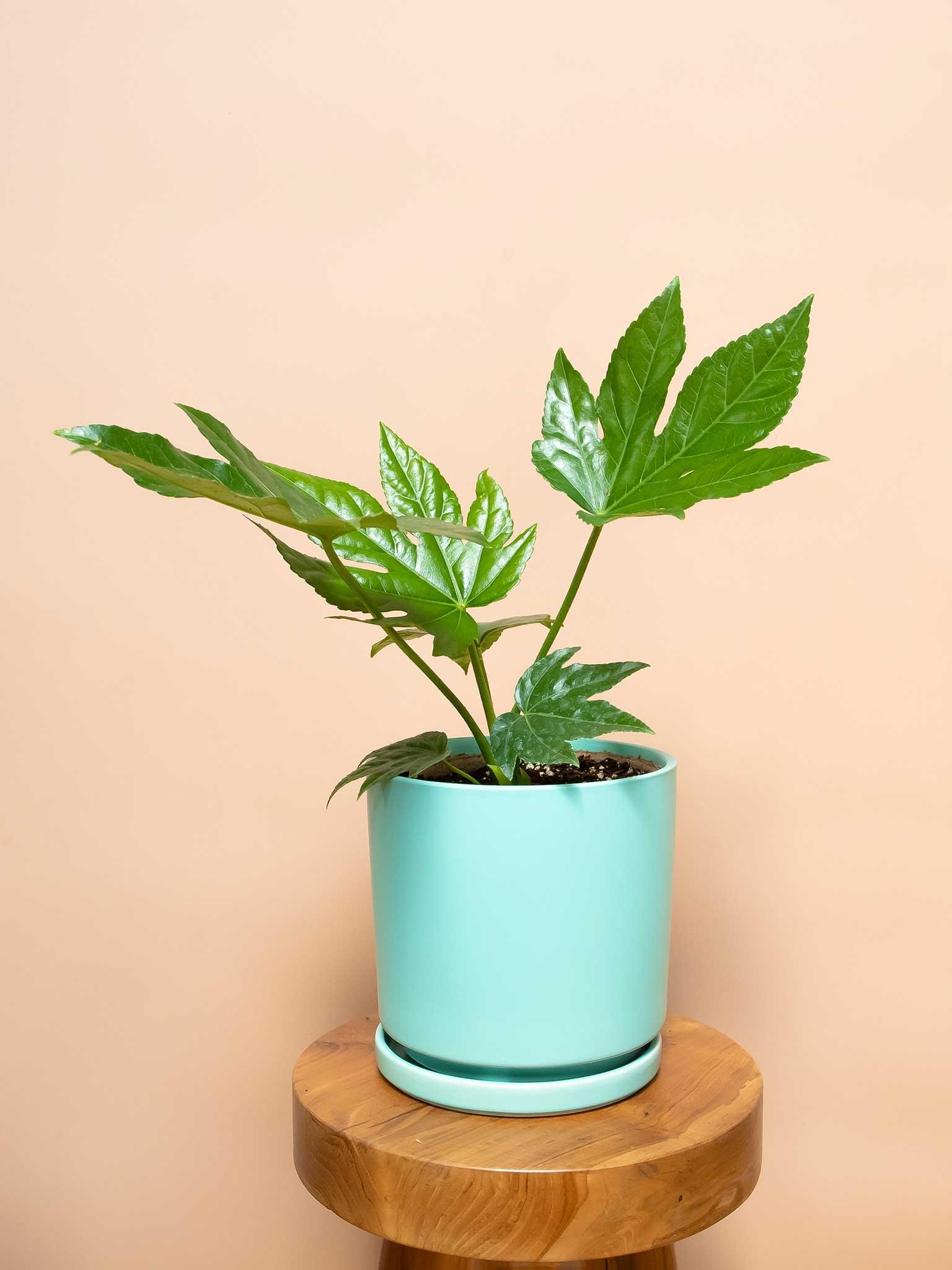 Photo of potted japanese aralia plant