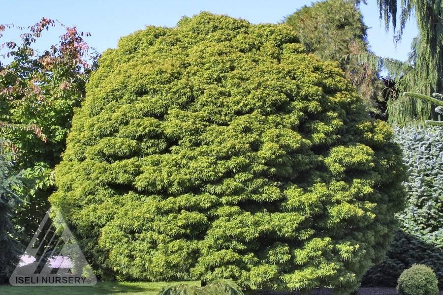 sharps pygmy tree