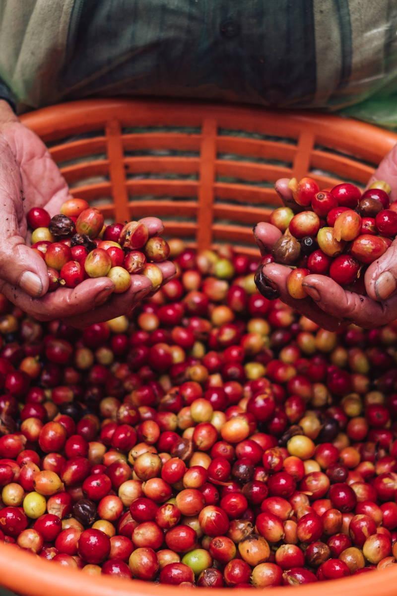 Coffee Cherries in Basket.