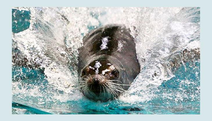 robbenhaven robbe schwimmt