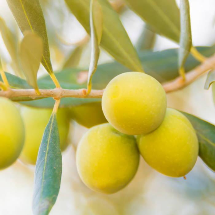 Plant based skincare. Olive