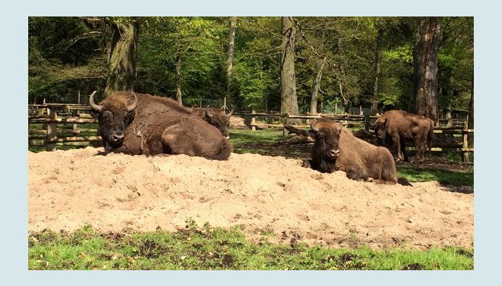 wildpark dünnwald wisente bisons