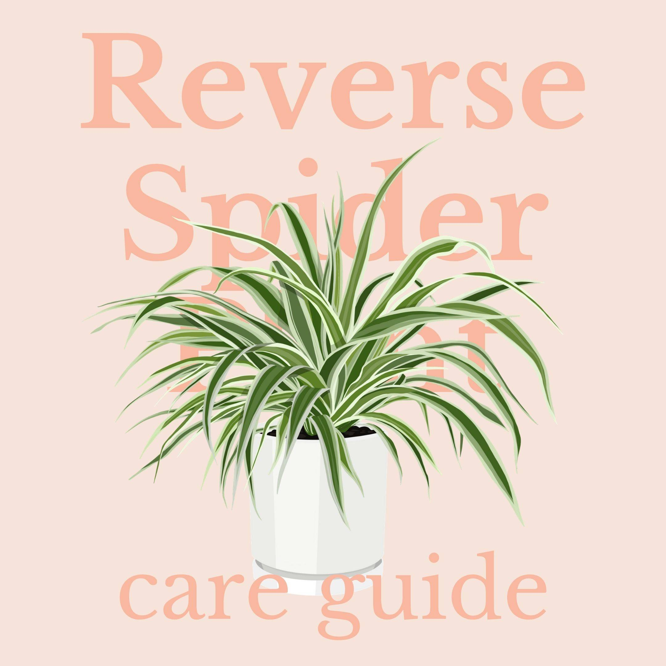 Drawing of reverse spider plant