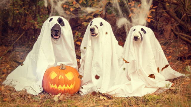 Three dogs dressed as ghosts in white cloth stand behind a jack-o '-lantern in the grass