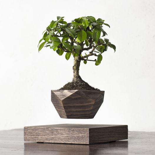 Левитирующее растение Wood Бонсай венге