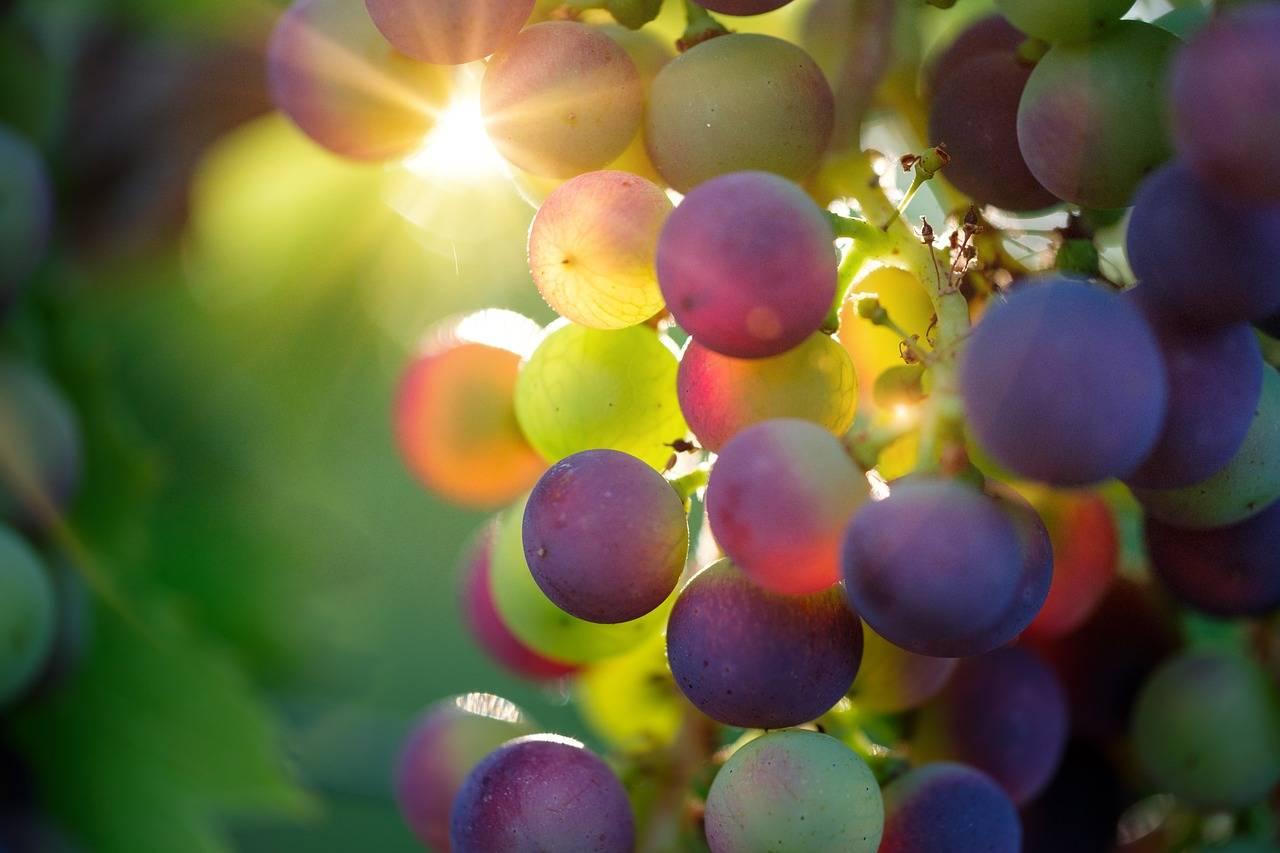 Weintrauben sind für Hunde ungesund