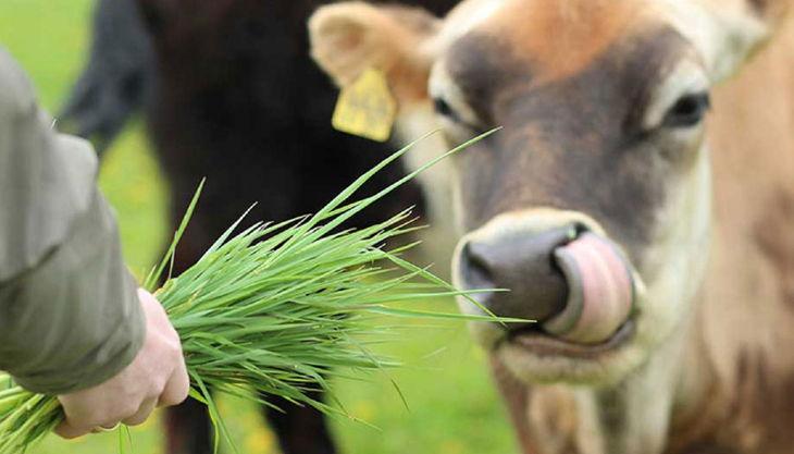 hof elverich kuh füttern