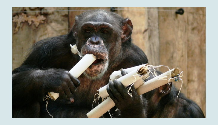 zoo krefeld schimpanse