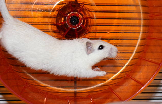 omlet qute gerbil running on wheel