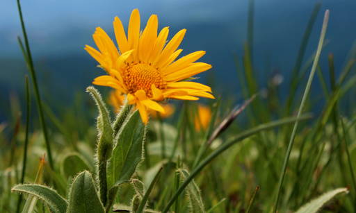 Arnica Extracts Provides quick strengthening effects to fragile capillaries