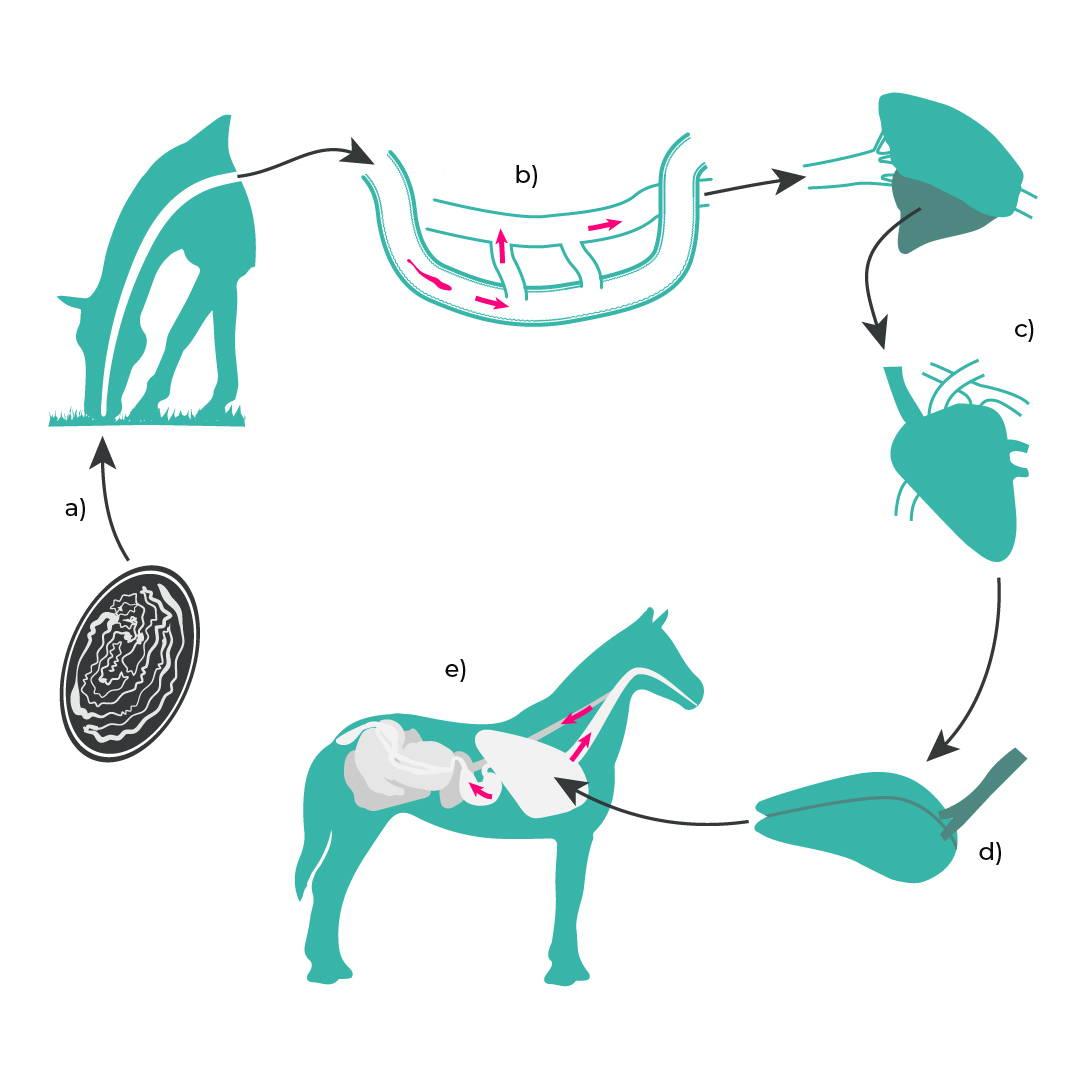Entwicklungszyklus: Spulwurm beim Pferd