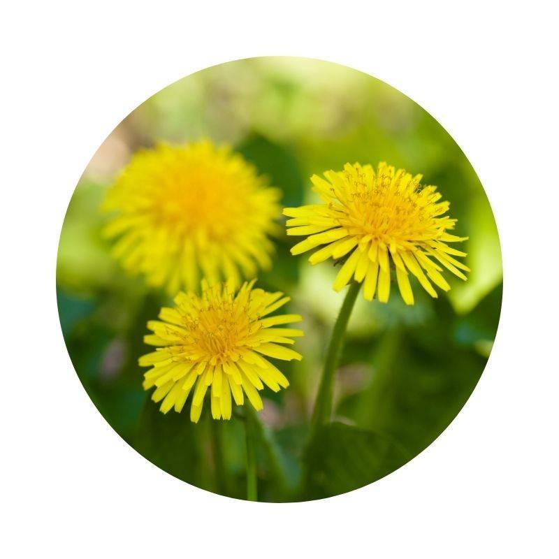 LÖWENZAHN Taraxacum officinale Heilpflanzen Heilkräuter Lexikon Heilwirkung Wirkung