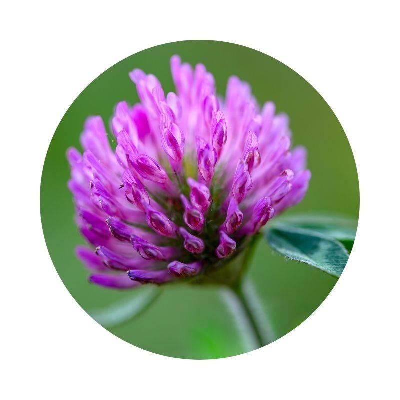 ROTKLEE Trifolium pratense Heilpflanzen Heilkräuter Lexikon Heilwirkung Wirkung