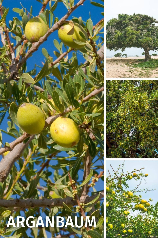 Arganbaum, Arganöl historische Verwendung: Akne, Herz-Kreislauf, Haare, trockene Haut, Juckreitz