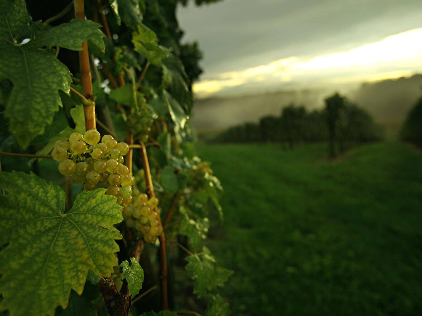 Blick über den Weinberg in St. Nikolai ob Draßling - Weingut Trummer