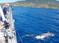A pod of dolphins off the coast of St. Kitts.