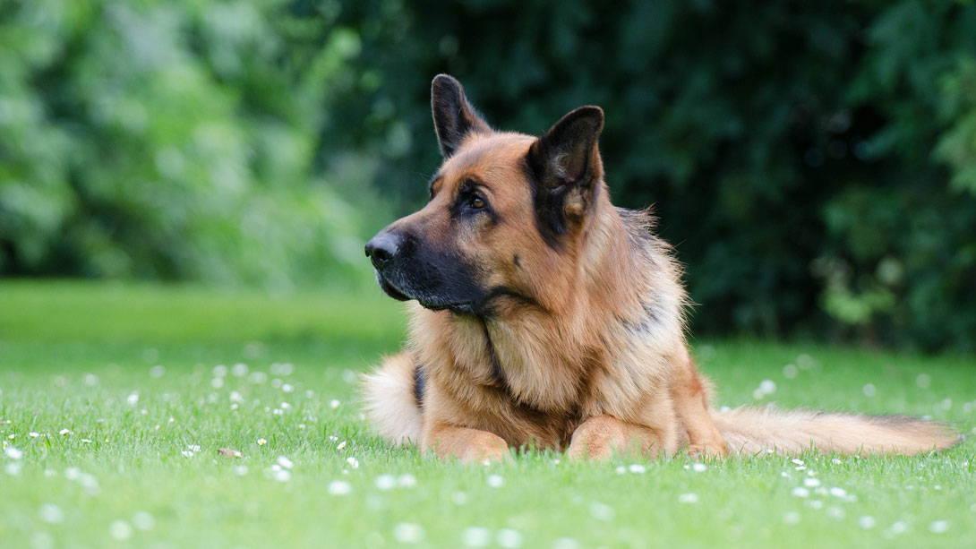 Degenerative Myelopathie bei Hunden