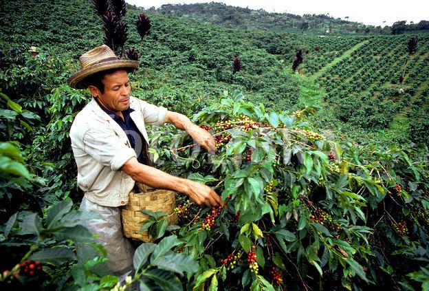 Columbian coffee picker