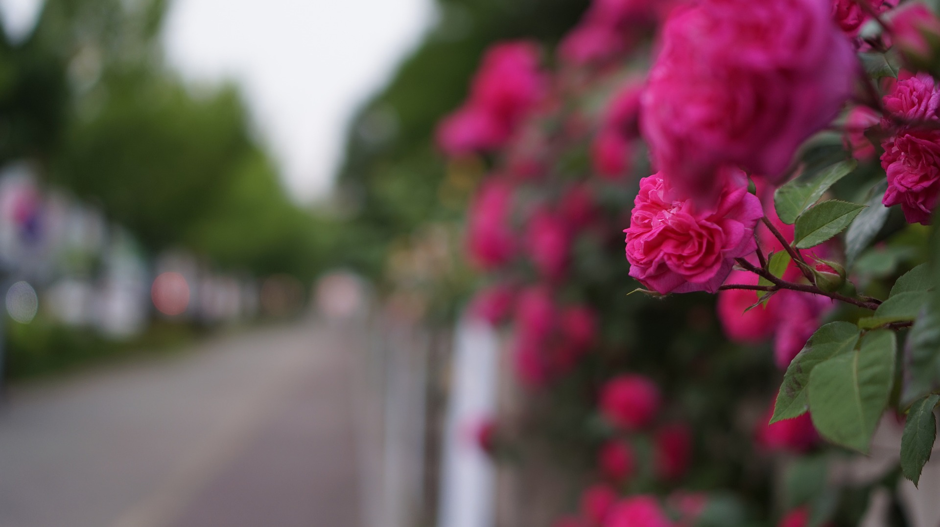 Luxembourg - Roses Limperstberg.jpg