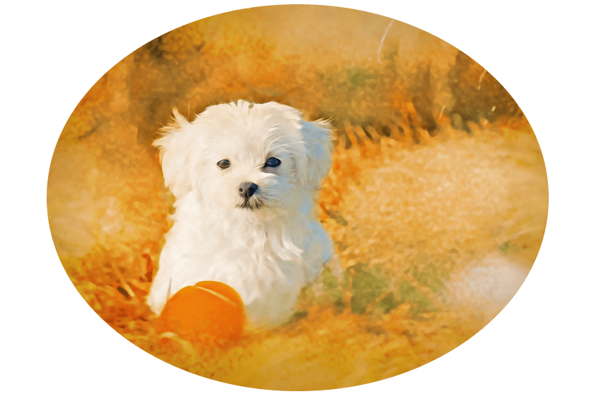 Maltese Artwork - Original Dog Art