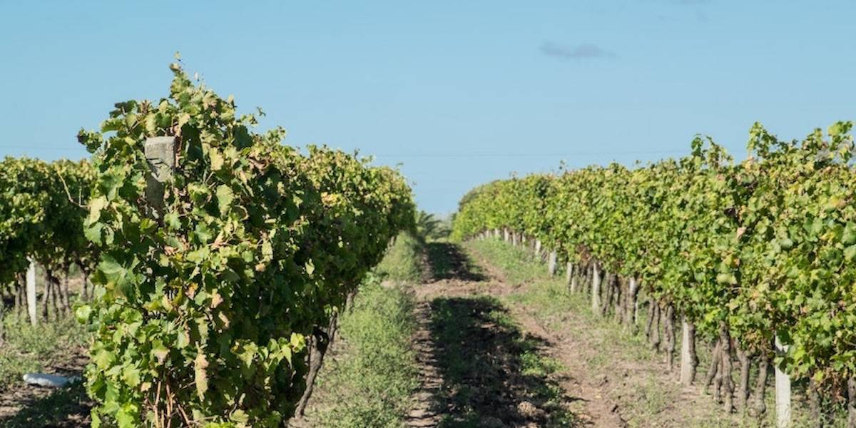 View inside vineyard situated in Bourgogne.